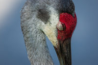 A Sleeping Sandhill Crane Portrait, Florida, USA