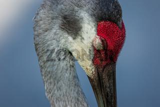A Sleeping Sandhill Crane Portrait, Florida, USA