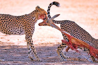 Cheetahs eating a springbok, Kgalagadi Transfrontier National Park, South Africa