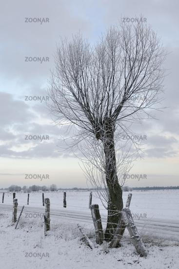 Pollard willow tree ( Salix sp. ) along a little road in winter, Lower Rhine region, Germany