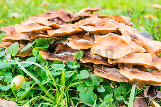 Group of honey agaric mushrooms