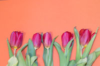 Tulip flower on orange background. Floral banner under the text. Orange background.
