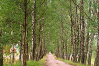 birch grove and a path in it, beautiful birch alley