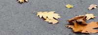 Autumn yellow dry oak leaves