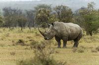 Endengered white rhino, Ceratotherium simum, Nakuru, Kenya, Africa