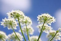 beautiful Apiaceae flower outdoors