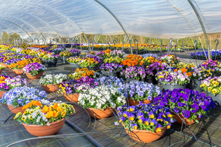 Dutch greenhouse with  colorful violets and irrigation