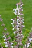 Muskatellersalbei, Salvia, sclarea