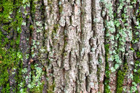 moss on rough bark on old trunk of maple tree