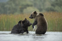 Eurasian Brown Bears * Ursus arctos * fighting in shallow water