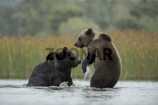 Rangeleien... Europäische Braunbären * Ursus arctos *
