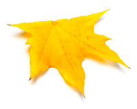 Autumn yellow leaf