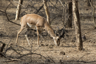 Male Indian gazelle or chinkara which is grazed in the bush forest on winter days