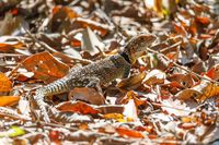 common collared iguanid lizard, madagascar