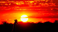 Giraffe looking at the sunset, Etosha National Park, Namibia
