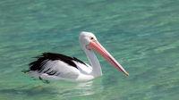 pelican Australia sea