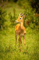 Male impala stands in grass turning head