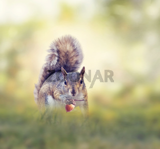American gray squirrel in grass