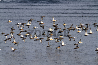 flock of Siberian orSTELLERS eiders flying to the sea on a winter day