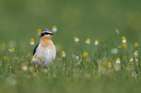 wheatear from Hungary