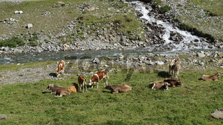 Eine Kuhherde an einem Bach in Tirol