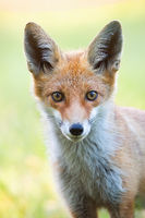 Vertical close-up portrait of red fox with blurred green background.