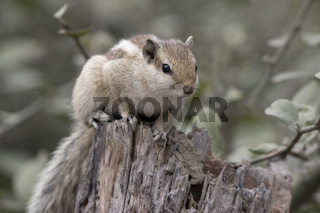 Indian palm squirrel or three-striped palm squirrel sitting on a dry stump on the shore of a small stream