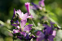 cheeses, high mallow or tall mallow (Malva sylvestris) -  pink flowers