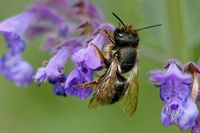 red mason bee on a catnip