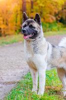 Akita breed dog on a walk in the autumn park. Beautiful fluffy dog. American Akita.