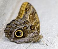 Owl butterfly (Caligo memnon) isolated.