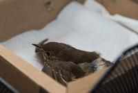 Assistance with an injured bird - closeup Thrush
