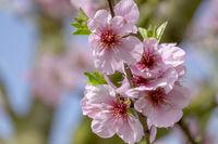 Mandelbaumblueten (Prunus dulcis)