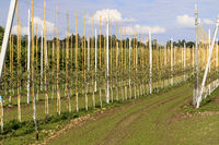 Trellis fruit plantation on Lake Constance