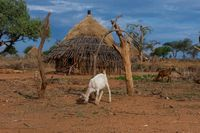 Goat in Hamer tribe village, Ethiopia