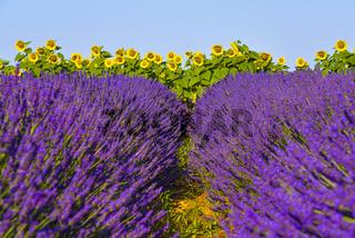 Lavendelfeld mit Sonnenblumen