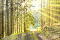 Green forest and rays of sun light