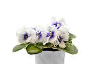 Beautiful blossoming plant of Senpolia or Uzumbar violet (saintpaulia) with delicate purple - white