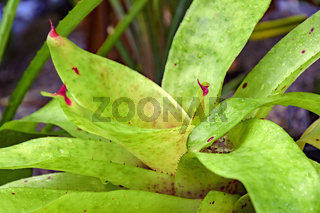 Green bromeliad leaves native to the Brazilian rain forest