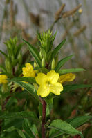common evening-primrose, evening star or sundrop