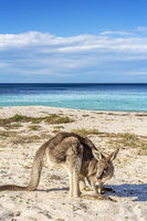Native wildlife, the kangaroos on the beach in Australia