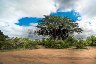 Big baobab tree in the Kruger National Park, South Africa