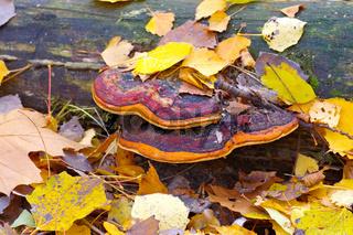 Rotrandiger Baumschwamm, Fomitopsis pinicola -  red belt conk or Fomitopsis pinicola in autumn forest
