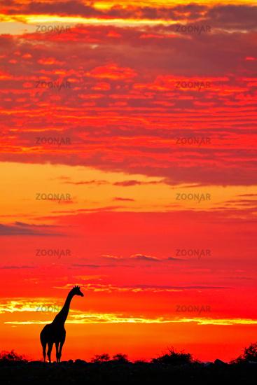 Giraffe in the sunrise, Etosha National Park, Namibia, (Giraffa camelopardalis)