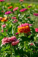 Blooming flower bed with flowers of zinia in a rural garden. Natural summer background