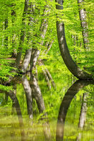 Beech tree trunks with stream in spring forest
