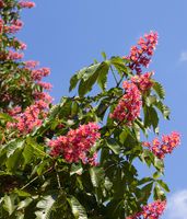 Horse chestnut tree Aesculus carnea with red blossom flowers