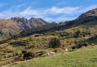 Sheep in a green meadow and snowy mountains in the background in the Southern Scenic Route, New Zeal