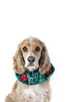 Cocker Spaniel Dog in Holiday Attire isolated on white
