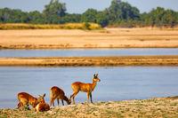 Pukus at Luangwa River, South Luangwa National Park, Zambia, (Kobus vardonii)